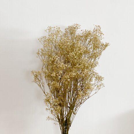 paniculata blanca preservada